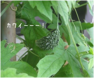 素鵞ゴーヤ1